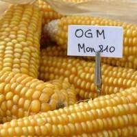 OGM mais 810