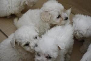 cuccioli maltesi